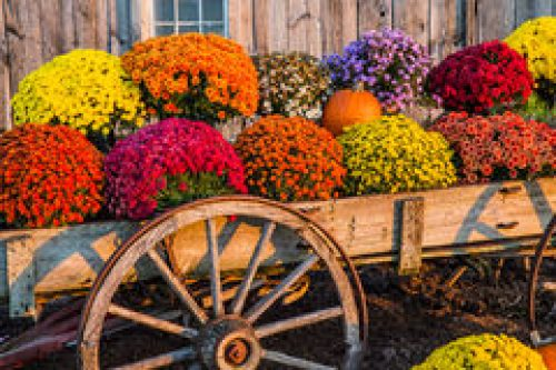 Fall Mum Wagon